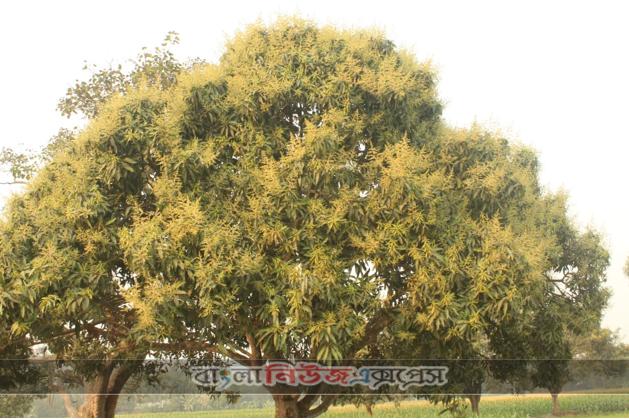 খানসামায় আমের গাছে গাছে মুকুলের সমারোহ,বাম্পার ফলনের সম্ভাবনা